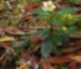 Chimaphila_menziesii_habitat.JPG
