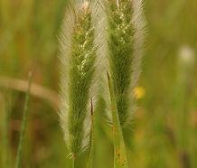 Polypogon_monspeliensis_flower.jpg
