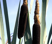 Typha_latifolia_flower.jpg