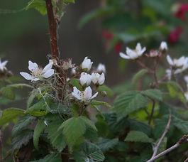 Rubus_ursinus_plant.jpg