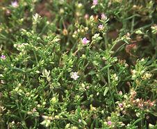 Spergularia_marina_habitat.jpg