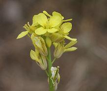 Hirschfeldia_incana_flower.jpg