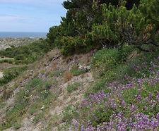 Lupinus_littoralis_habitat.jpg