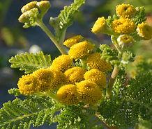 Tanacetum_bipinnatum_flower.jpg