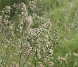 Dactylis_glomerata_plant.jpg