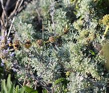 Artemisia_pycnocephala_image_1.jpg