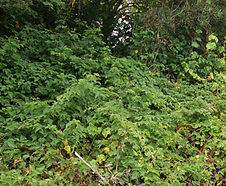 Rubus_ursinus_habitat.jpg
