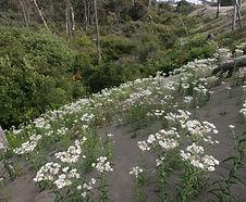Anaphalis_margaritacea_habitat.jpg