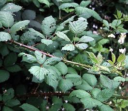 Rubus_armeniacus_plant.jpg