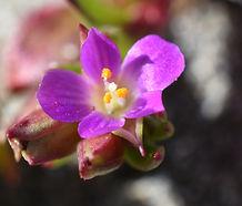 Calandrinia_menziesii_flower.jpg
