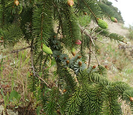 Picea_sitchensis_plant.jpg
