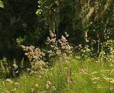 Dactylis_glomerata_habitat.jpg