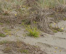 Cyperus_eragrostis_habitat.jpg
