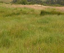 Agrostis_stolonifera_habitat.jpg