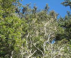 Morella_californica_habitat.jpg