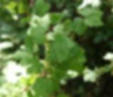 Ribes_divaricatum_plant.jpg