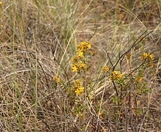 Hypericum_peforatum_habitat.jpg