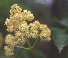 Sambucus_racemosa_flower.jpg