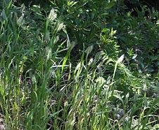 Cynosurus_echinatus_habitat.jpg