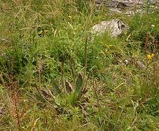 Plantago_subnuda_habitat.jpg