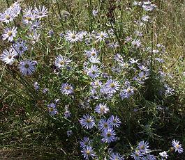 Symphyotrichum_chilense_plant.jpg