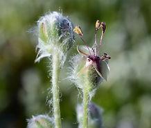 Plantago_erecta_flower.jpg