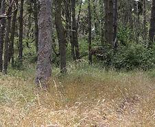 Bromus_carinatus_habitat.jpg