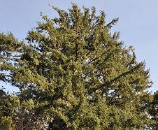 Picea_sitchensis_habitat.jpg