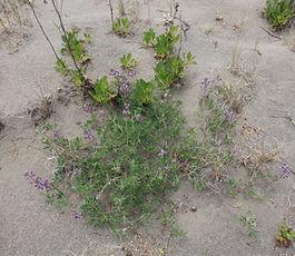 Lupinus_littoralis_plant.jpg