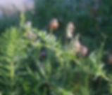 Vicia_gigantea_plant.jpg