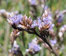 Limonium_californicum_flower.jpg