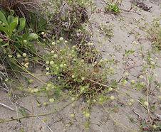 Trifolium_microcephalum_habitat.jpg