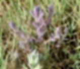Chloropyron_maritimum_plant.jpg