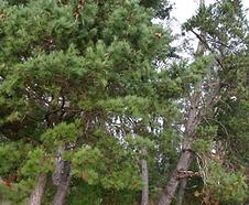Pinus_radiata_habitat.tif