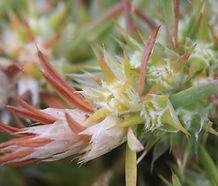 Cardionema_ramosissimum_flower.jpg