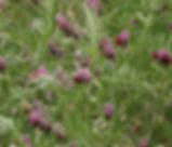 Vicia_benghalensis_plant.jpg