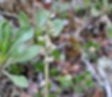 Goodyera_oblongifolia_plant.jpg
