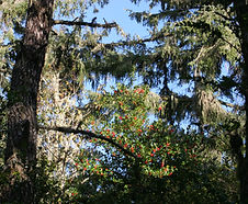 Ilex_aquifolium_habitat.jpg