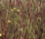 Agrostis_microphylla_plant.jpg