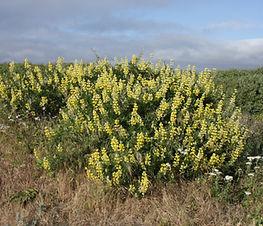 lupinus_arboreus_plant.jpg