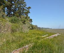 Carex_lyngbyei_habitat.JPG