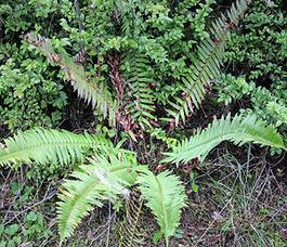 Polystichum_munitum_plant.jpg