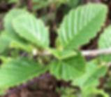 Alnus_rubra_plant.jpg
