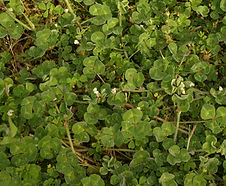 Trifolium_subterraneum_habitat.jpg