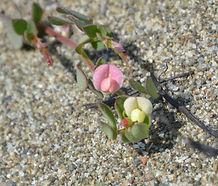 Acmispon_parviflorus_flower.jpg