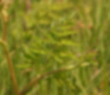 Oenanthe_sarmentosa_plant.jpg