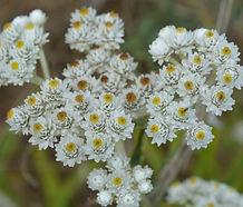 Anaphalis_margaritacea_flower.jpg