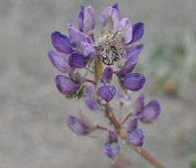 Lupinus_littoralis_flower.jpg