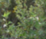 Solanum_douglasii_plant.jpg