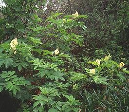 Sambucus_racemosa_plant.jpg